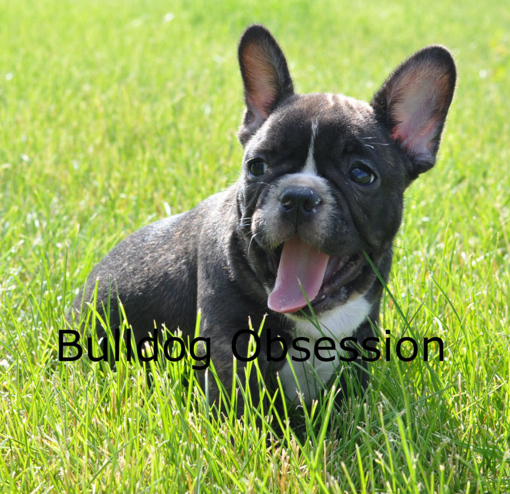 A picture of a Alder, one of Bulldog Obsession's Standard French Bulldogs
