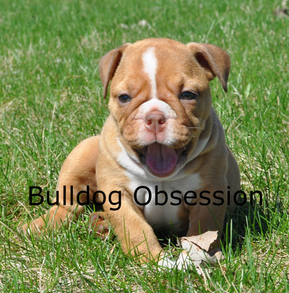 A picture of a Hanna, one of Bulldog Obsession's Standard English Bulldogs