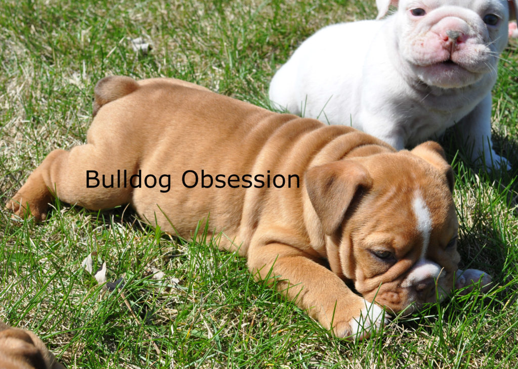Hanna is an  English Bulldog that should have Short Stocky