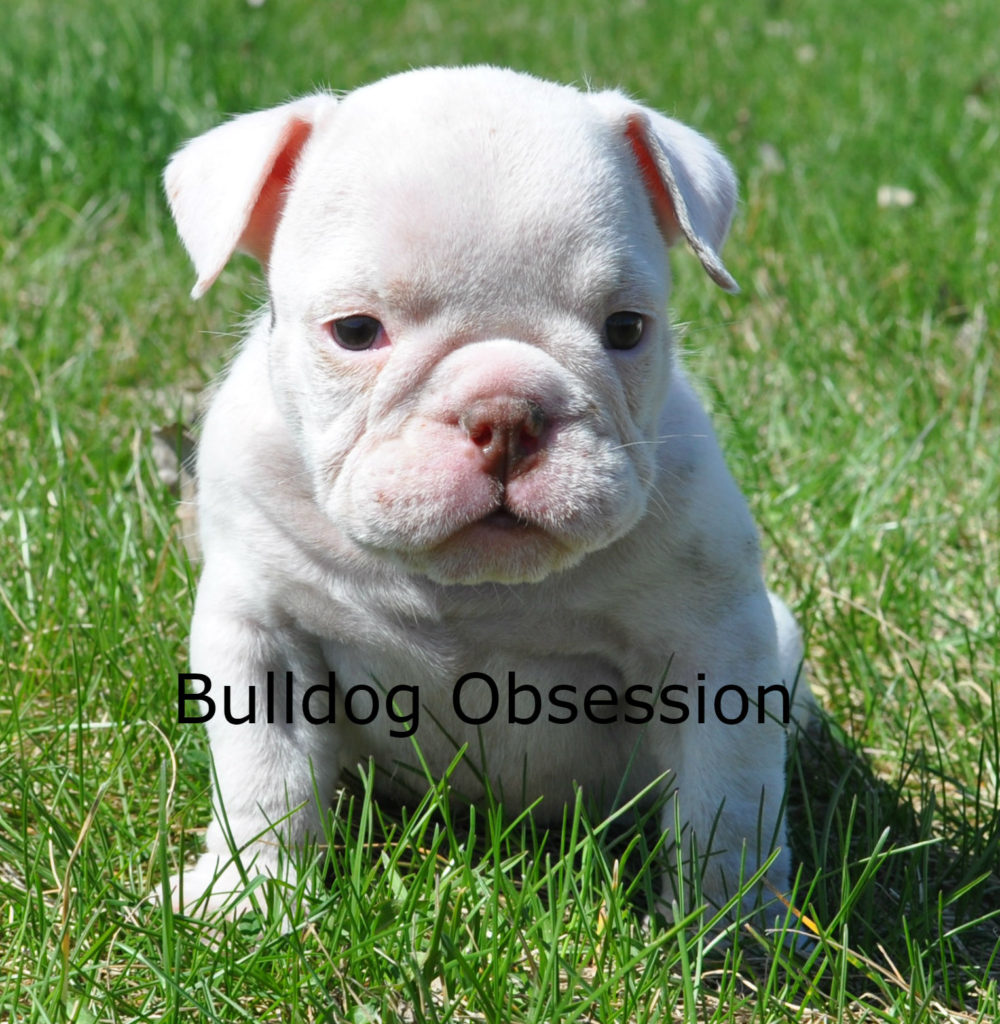 A picture of a Harlie, one of Bulldog Obsession's Standard English Bulldogs