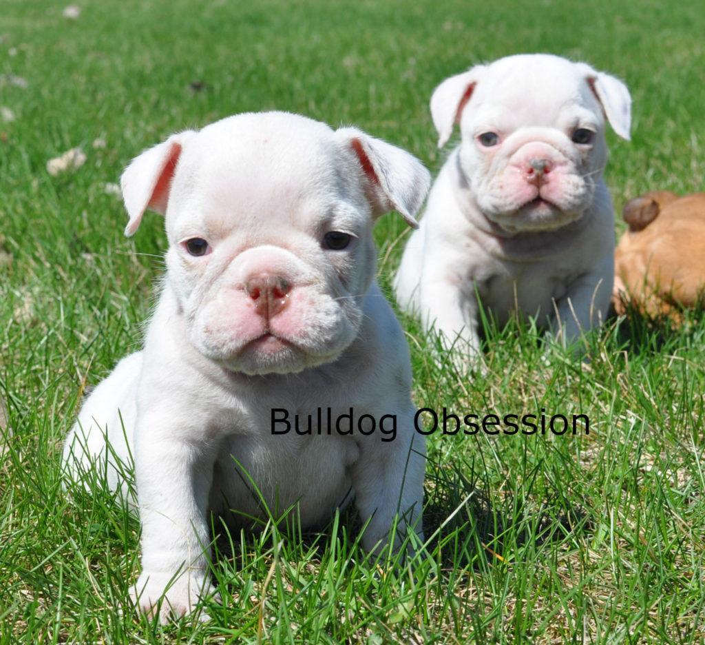 Standard English Bulldogs with Short Stocky