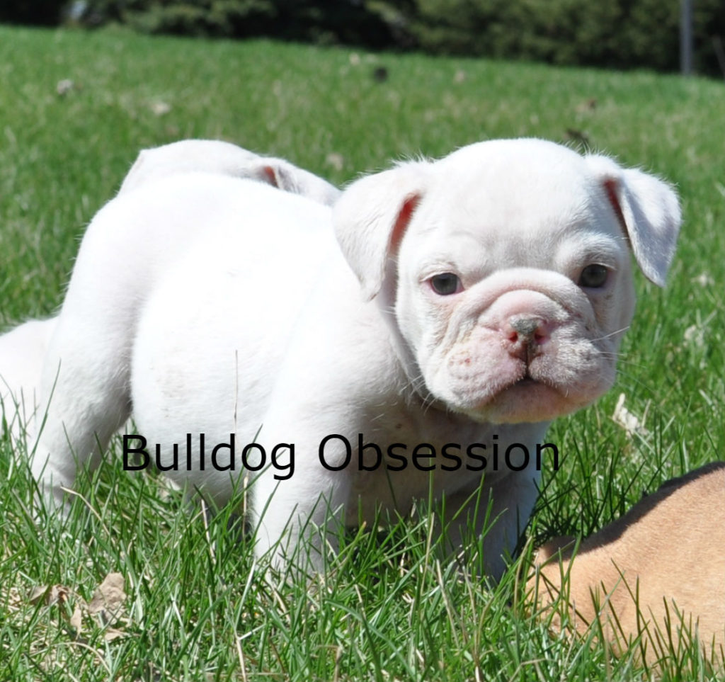 Harlie came from Hershey and Hercules's litter of  English Bulldogs