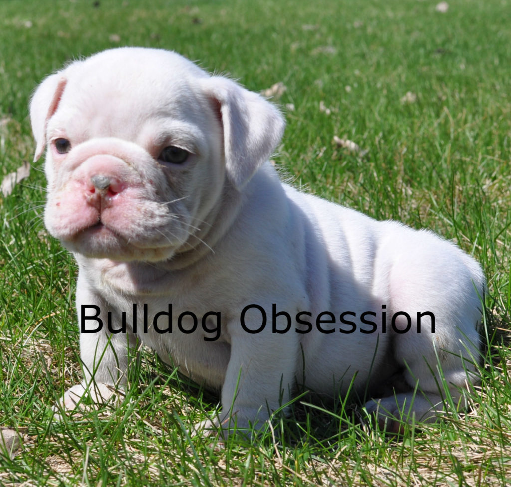 A picture of a Hugh, one of Bulldog Obsession's Standard English Bulldogs