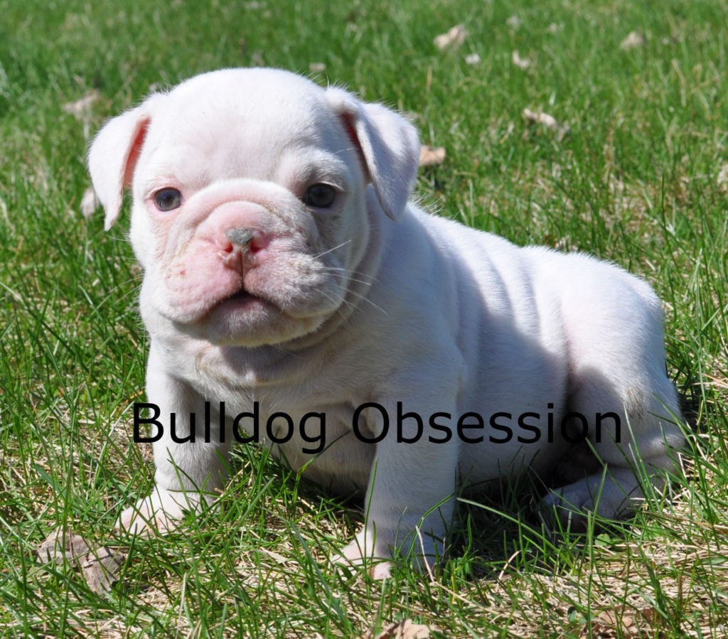 Hugh came from Hershey and Hercules's litter of  English Bulldogs