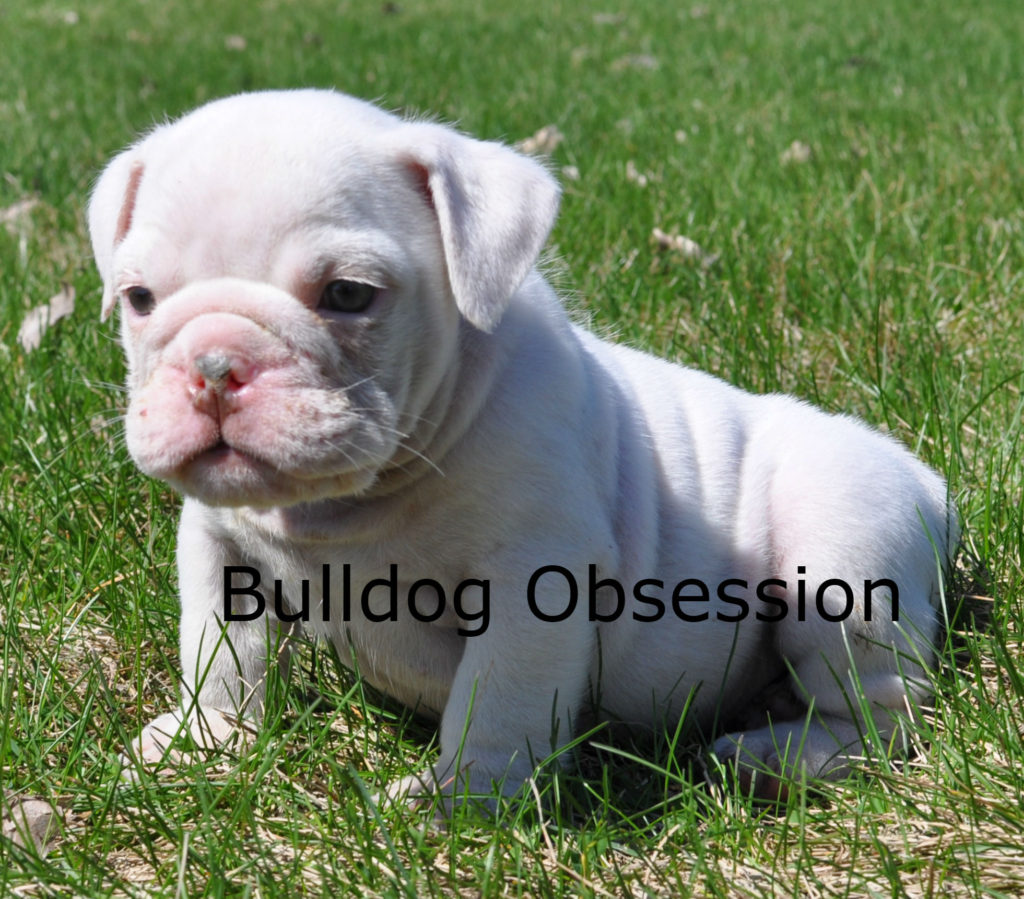Hugh is an  English Bulldog that should have Short Stocky
