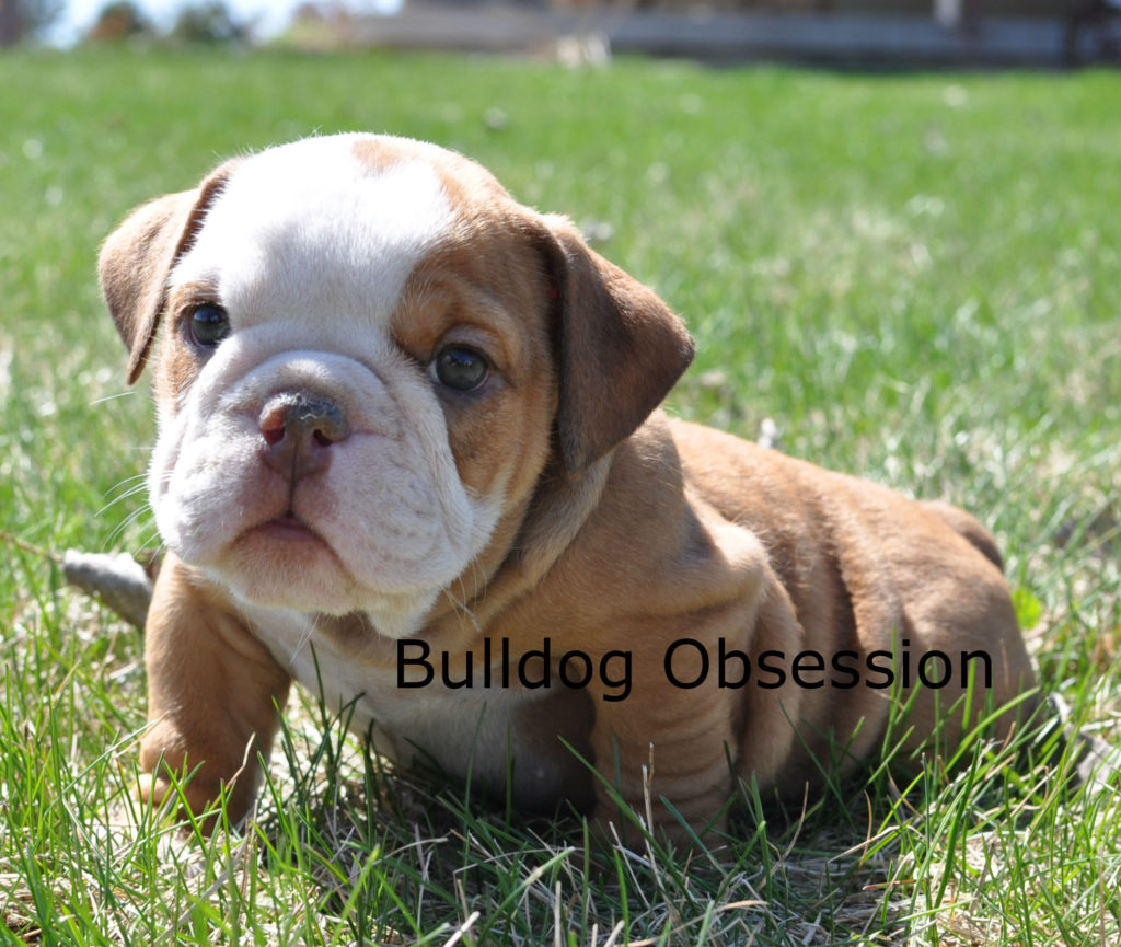 Hudsyn is an  English Bulldog that should have Short Stocky