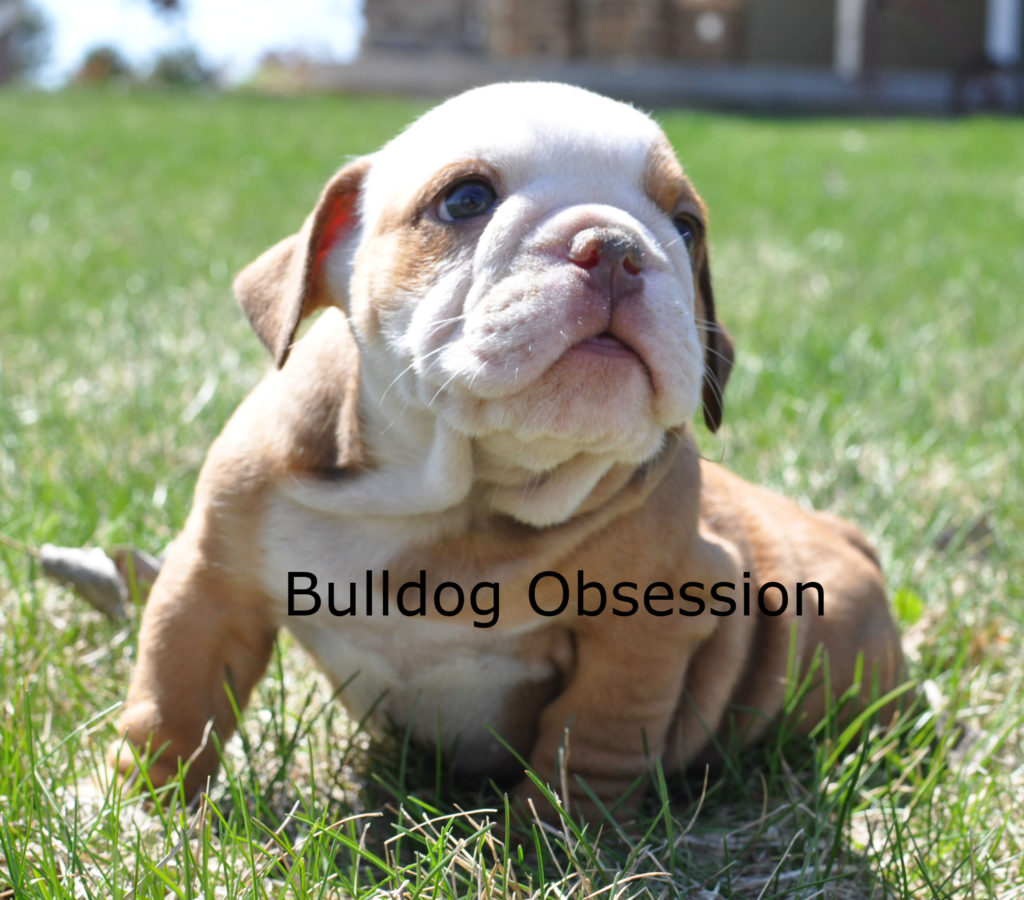 Hudsyn came from Hershey and Hercules's litter of  English Bulldogs