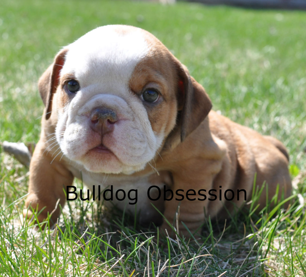 A picture of a Hudsyn, one of Bulldog Obsession's Standard English Bulldogs