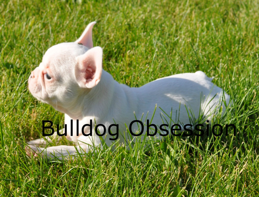 Lily is an  French Bulldog that should have short compact