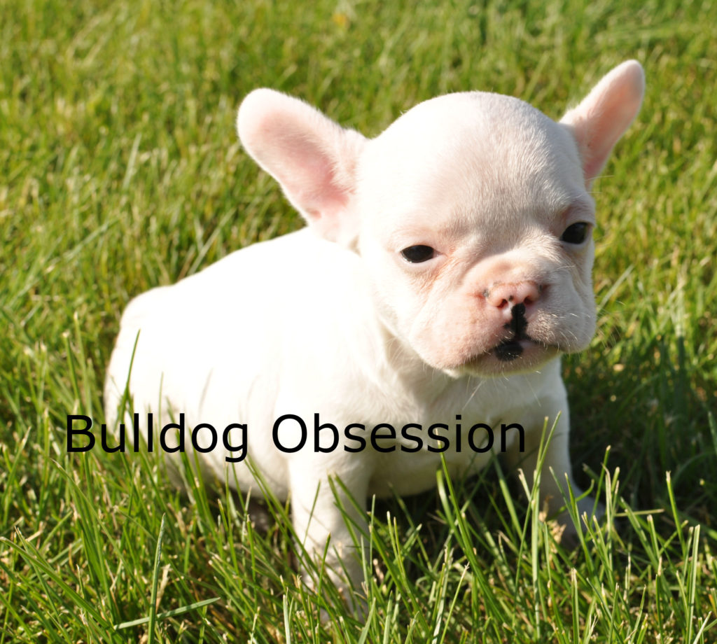 A picture of a Lily, one of Bulldog Obsession's Standard French Bulldogs