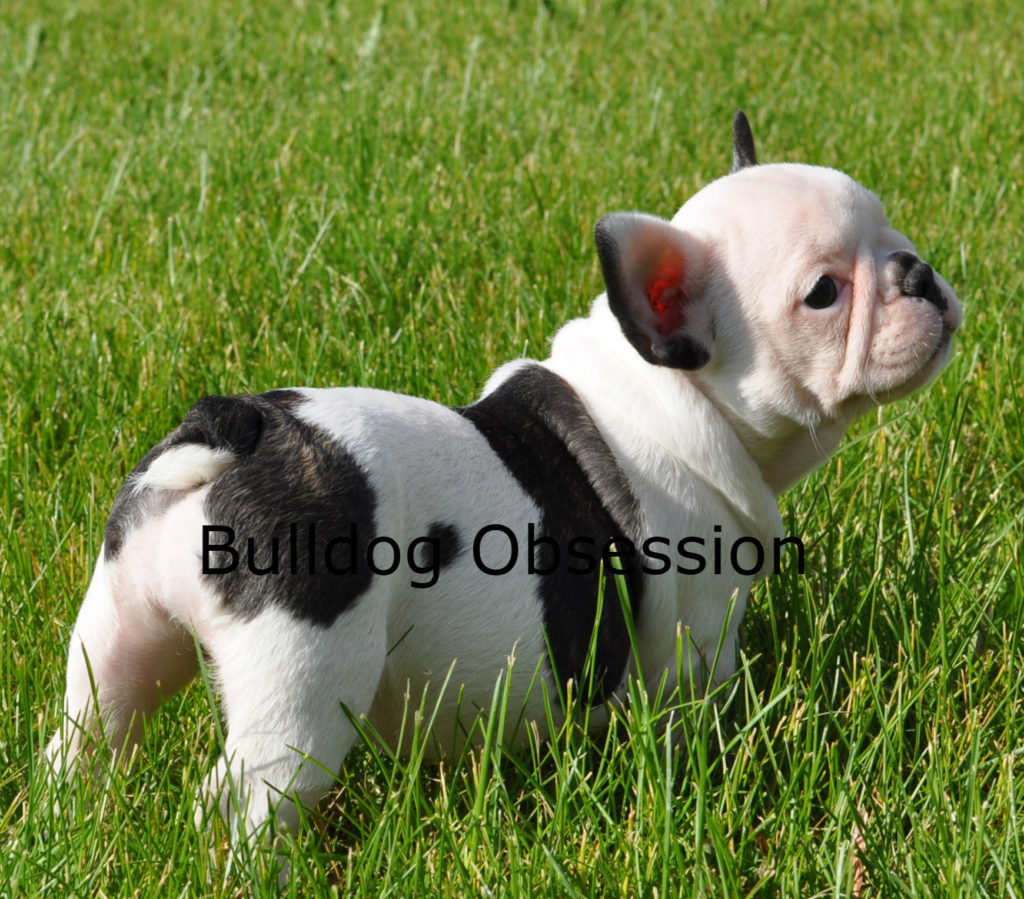 A picture of a Poppy, one of Bulldog Obsession's Standard French Bulldogs