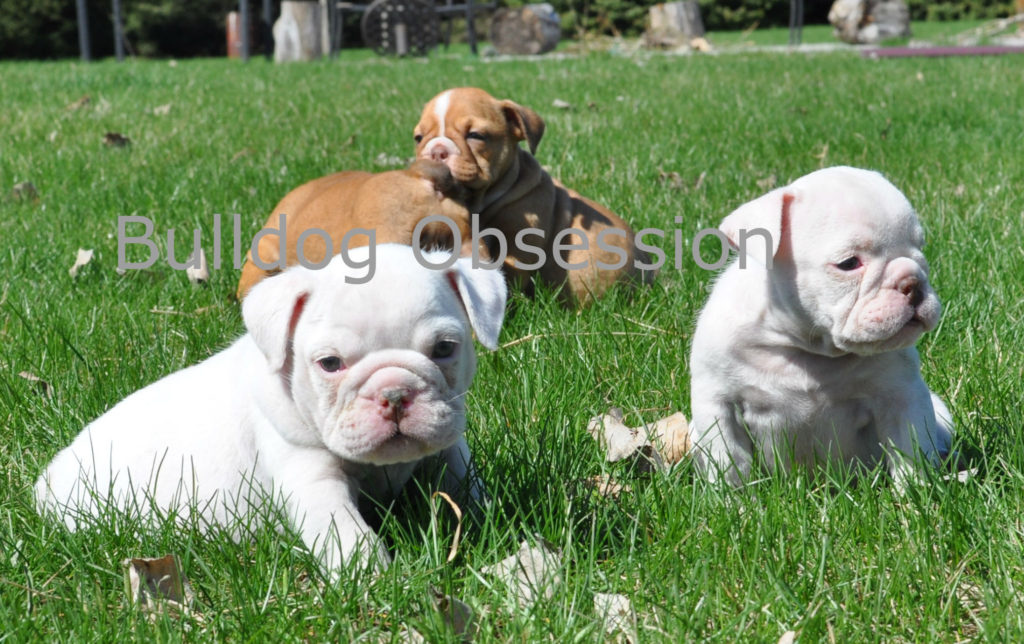 A picture of a group of Standard English Bulldogs bred in Iowa
