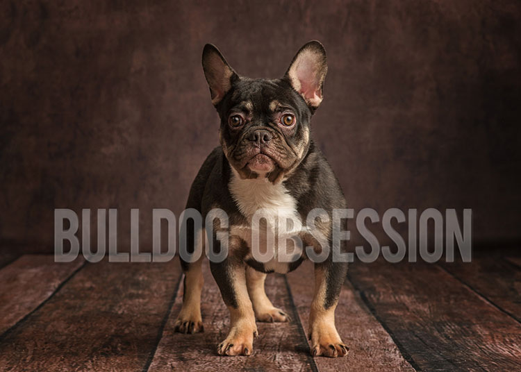 A picture of one of our French Bulldog father's, Kanye.