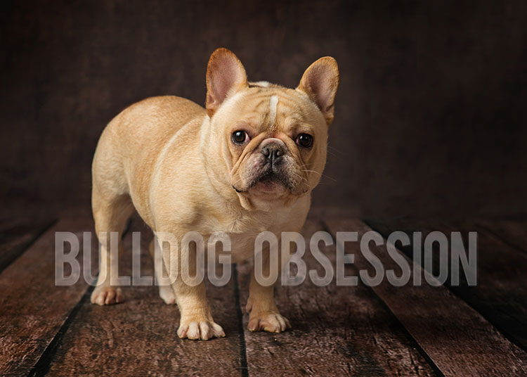 A picture of one of our French Bulldog father's, Nugget.