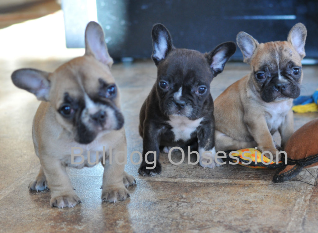 A picture of a group of Standard French Bulldogs bred in Iowa
