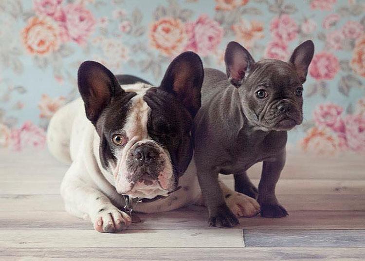 English and French Bulldog Puppies   Bulldog Obsession