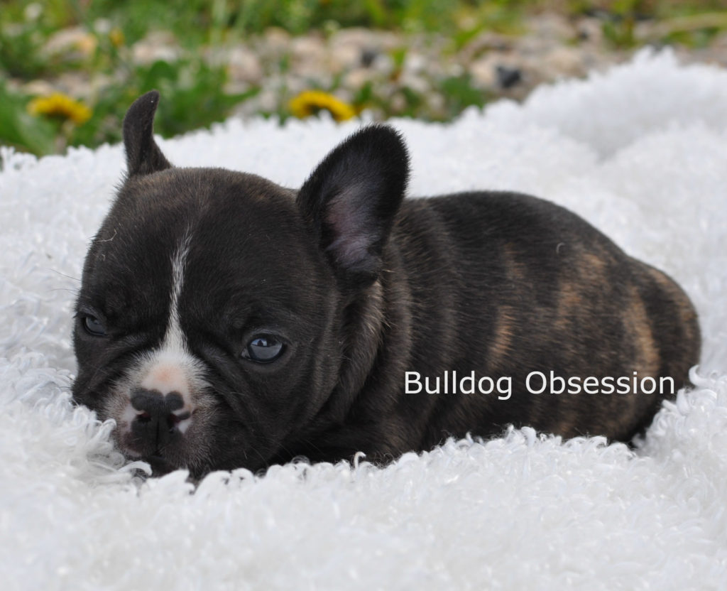 Alder came from Karelia and Nugget's litter of  French Bulldogs