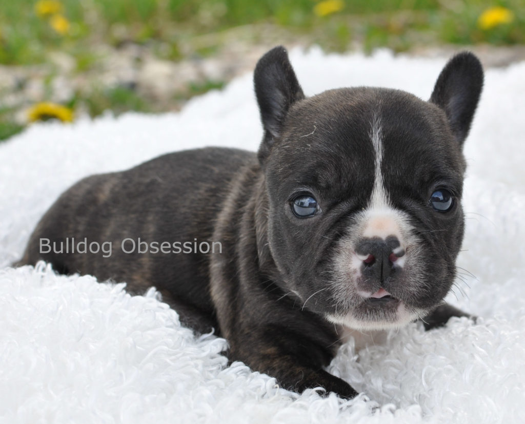 Alder is an  French Bulldog that should have short compact