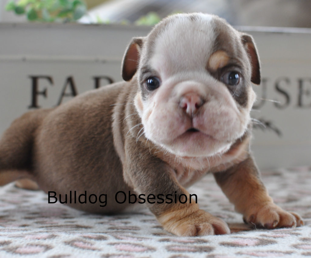 Bruno came from Kenya and Hercules's litter of  English Bulldogs