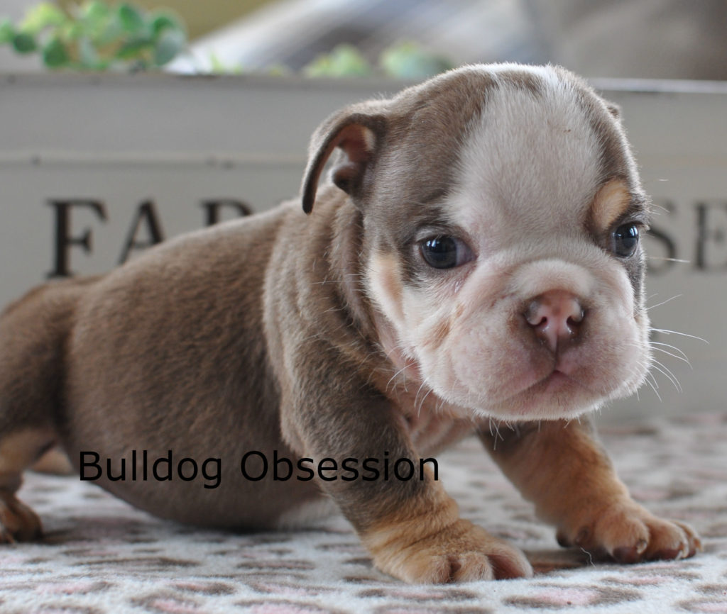 Bruno is an  English Bulldog that should have short compact