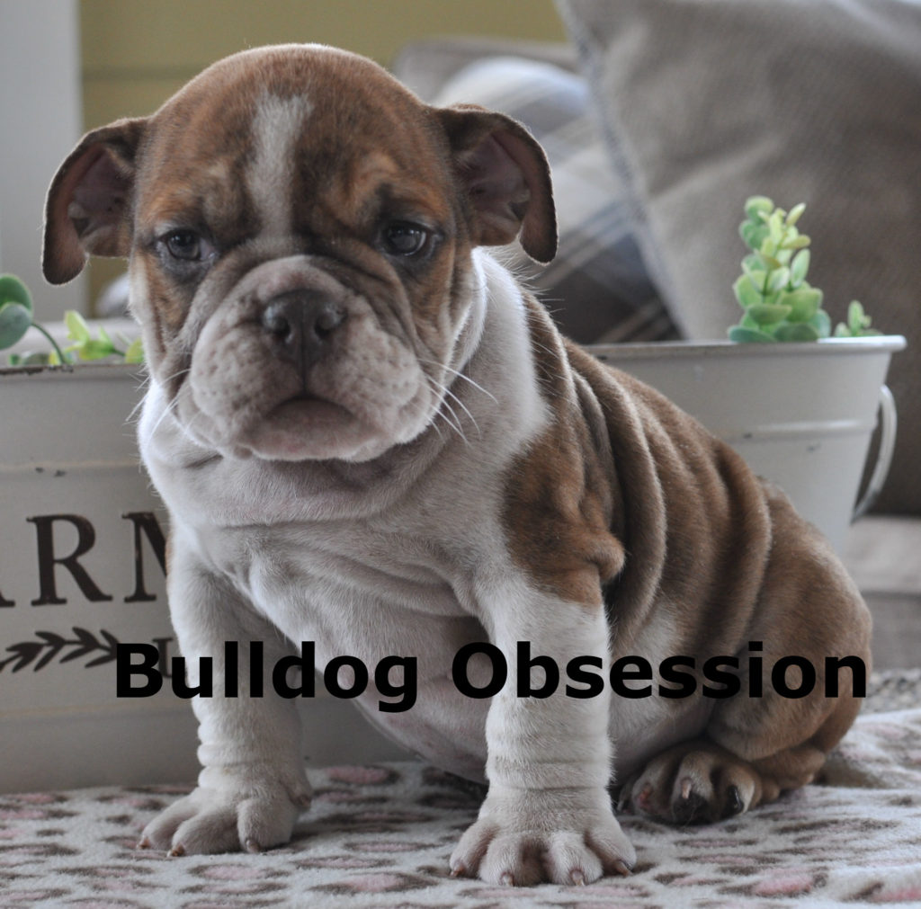 A picture of a Harlyn, one of Bulldog Obsession's Standard English Bulldogs