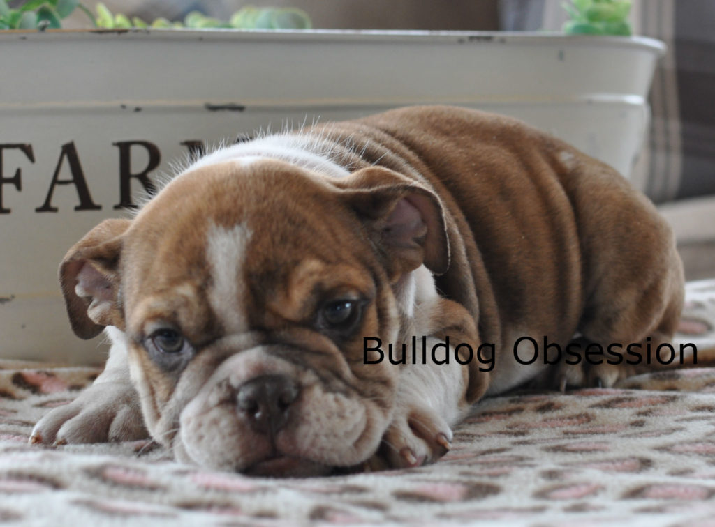 Harlyn came from Hershey and Hercules's litter of  English Bulldogs