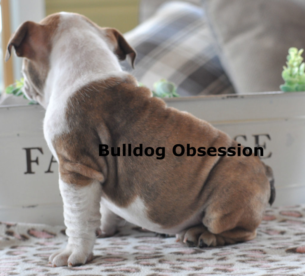 Harlyn is an  English Bulldog that should have Short Stocky