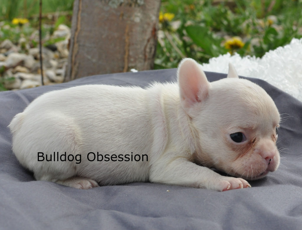 Lily came from Karelia and Nugget's litter of  French Bulldogs