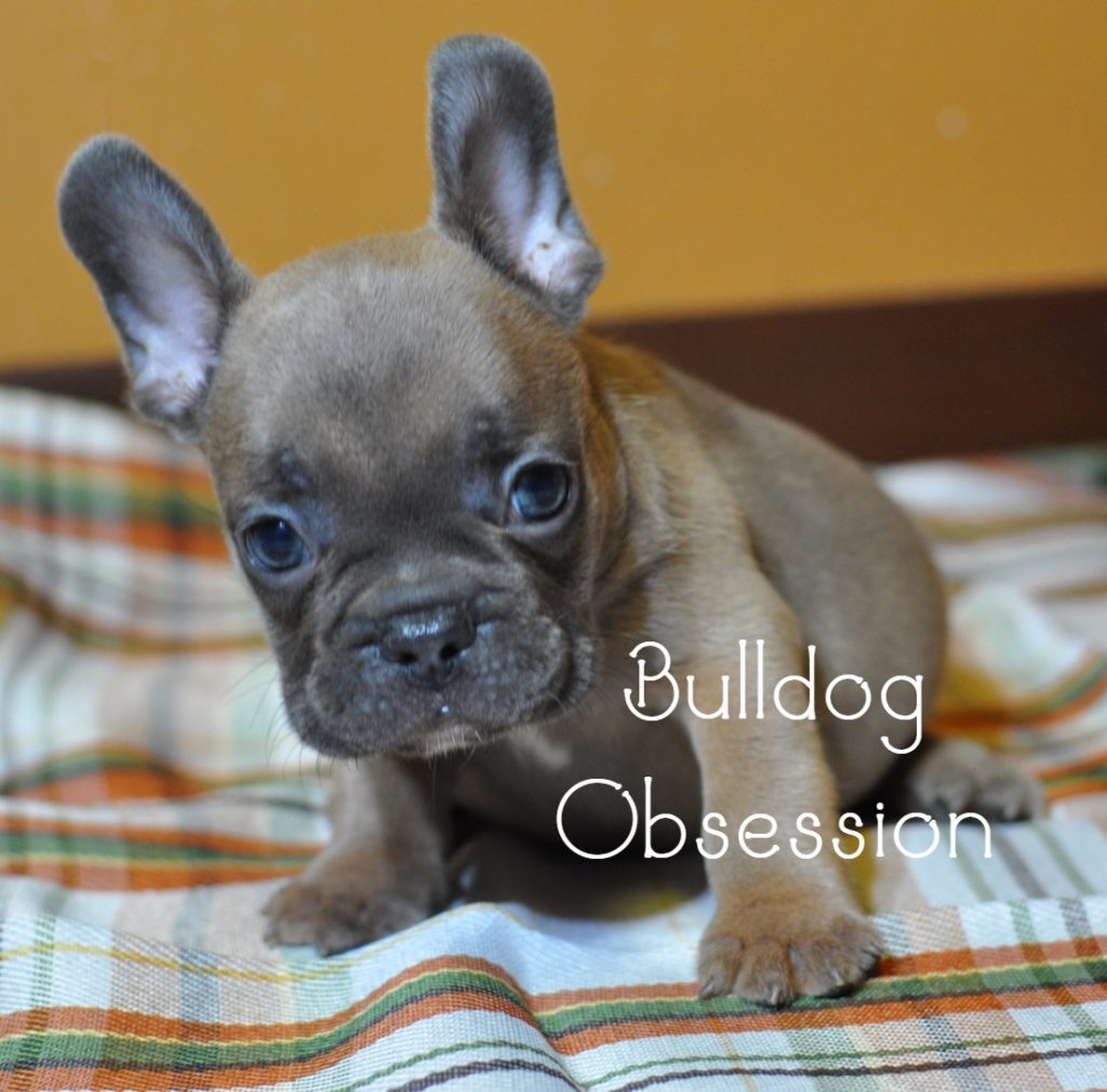 A picture of a Manny, one of Bulldog Obsession's Standard French Bulldogs