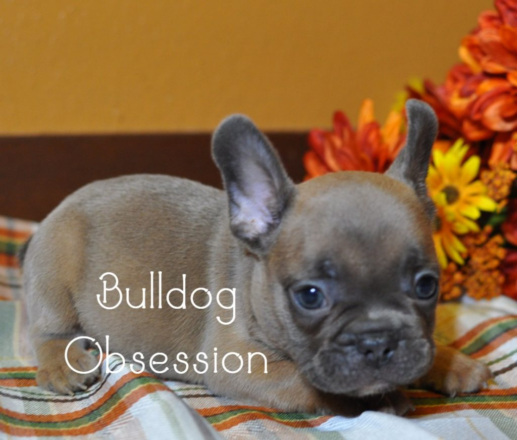 Manny came from Minna and Marshall's litter of  French Bulldogs
