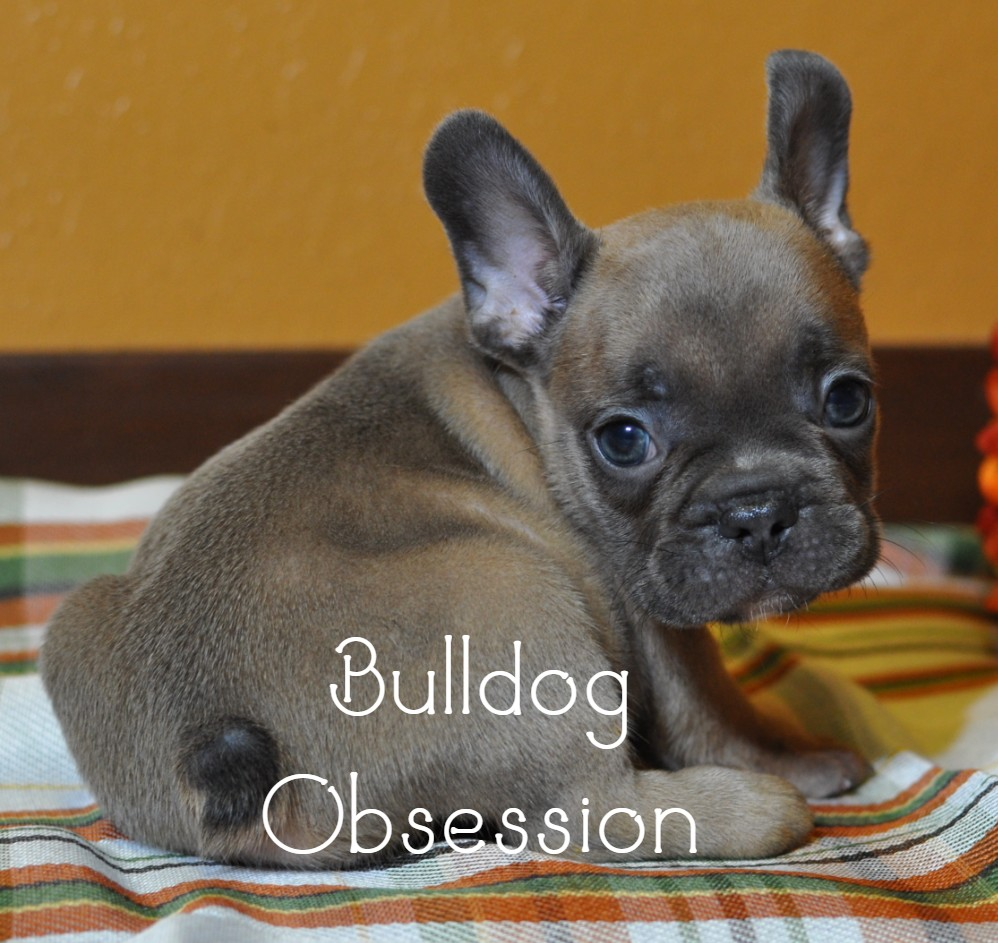 Manny is an  French Bulldog that should have Nice and Compact.