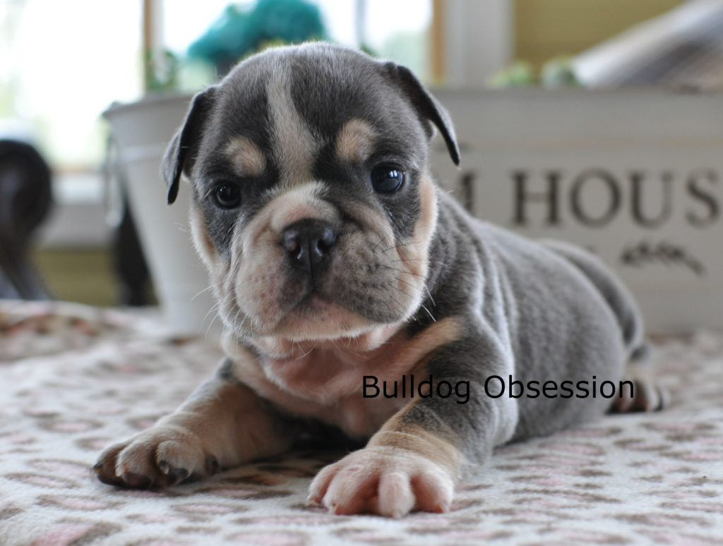 A picture of a Mercy, one of Bulldog Obsession's Standard English Bulldogs