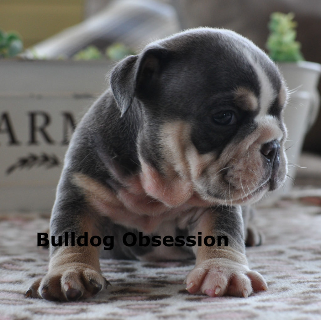 Mercy is an  English Bulldog that should have short compact