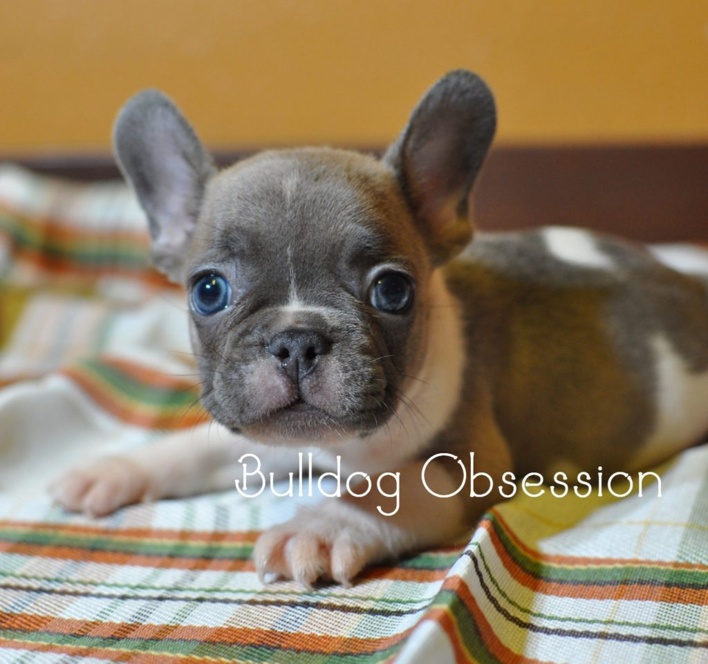 French Bulldogs bred by Bulldog Obsession in Iowa