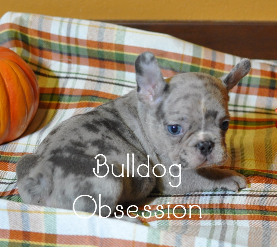 A picture of a Mylo, one of Bulldog Obsession's Standard French Bulldogs