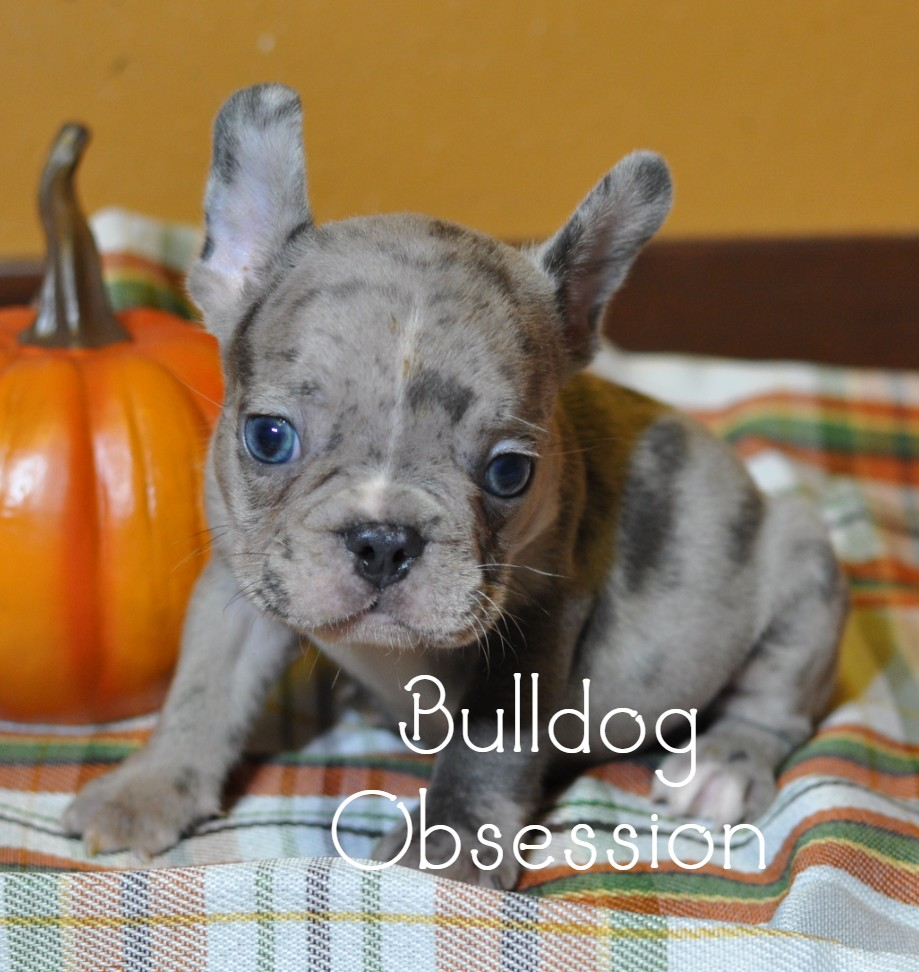 A litter of Standard  French Bulldogs available in Iowa