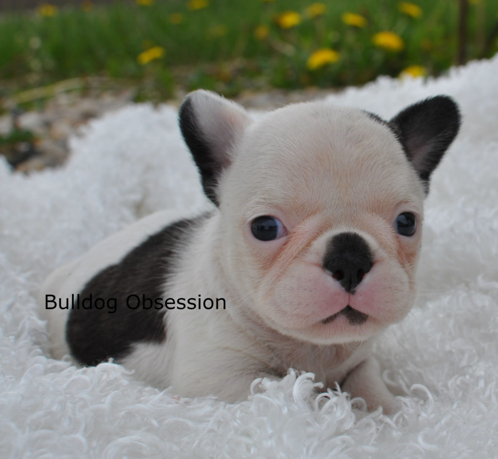 Poppy is an  French Bulldog that should have short compact