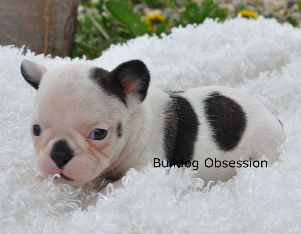 Poppy came from Karelia and Nugget's litter of  French Bulldogs