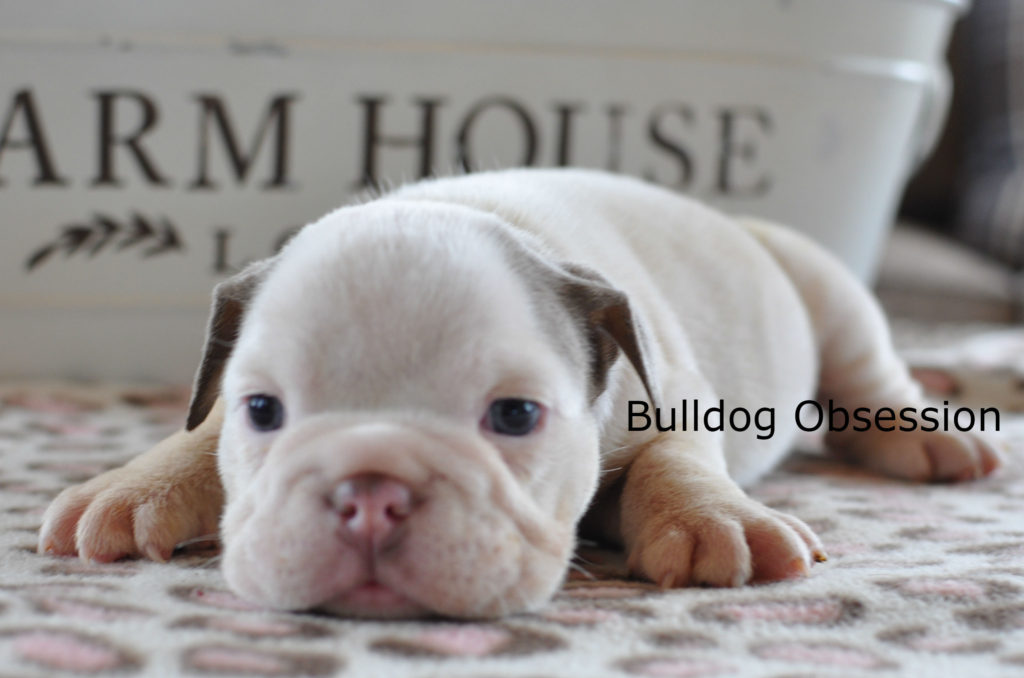 A picture of a Vixen, one of Bulldog Obsession's Standard English Bulldogs