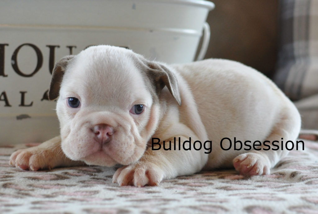 Vixen is an  English Bulldog that should have short compact