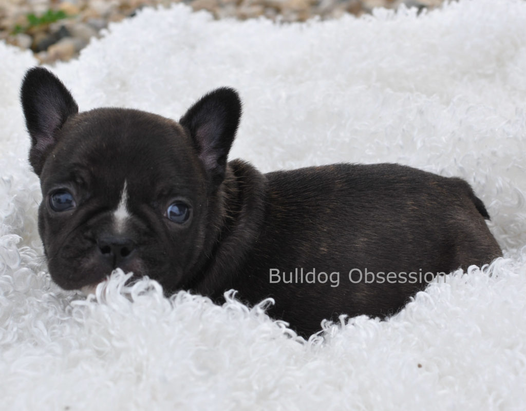 A picture of a Willow, one of Bulldog Obsession's Standard French Bulldogs