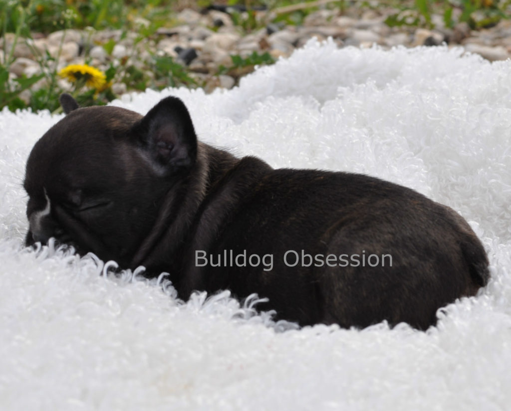 Willow came from Karelia and Nugget's litter of  French Bulldogs