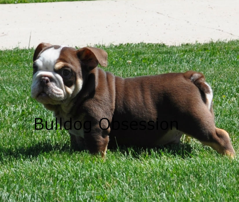 A picture of a Bruno, one of Bulldog Obsession's Standard English Bulldogs