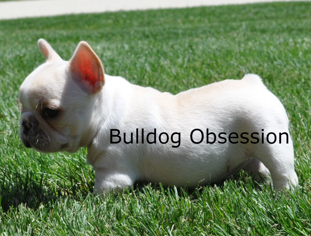 A picture of a Buttermilk, one of Bulldog Obsession's Standard French Bulldogs