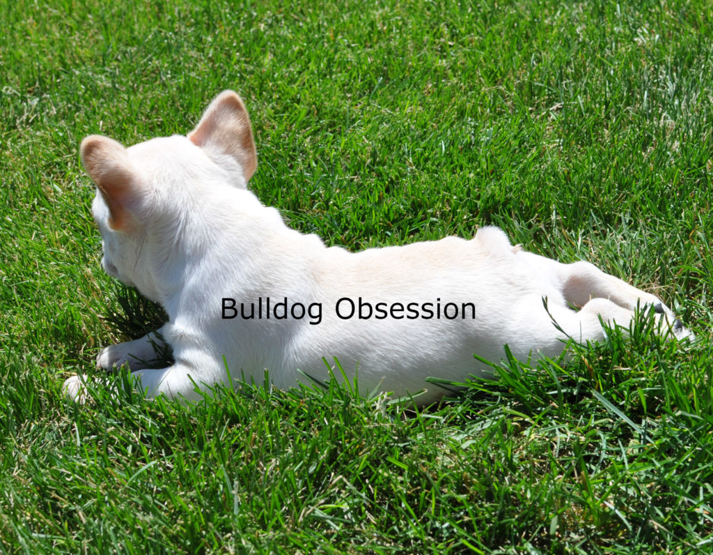 Buttermilk is an  French Bulldog that should have short compact