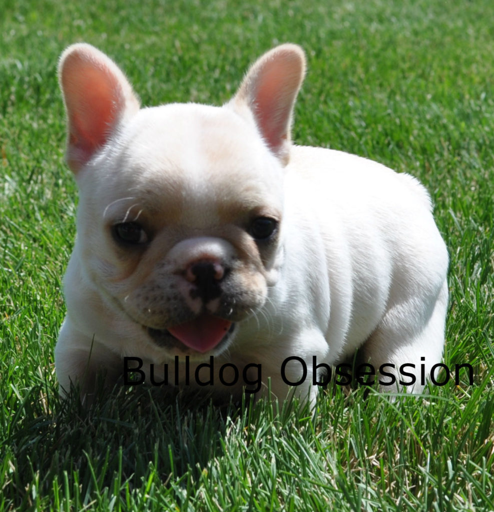 Buttermilk came from Snowflake and Nugget's litter of  French Bulldogs