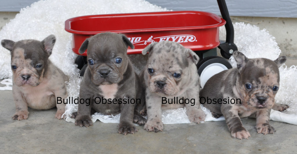 French Bulldogs with thick and compact