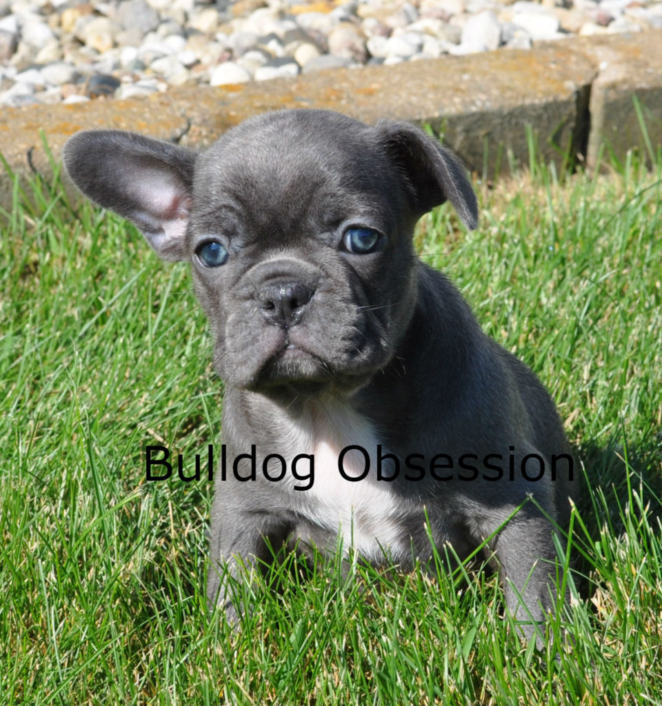 A picture of a Alex, one of Bulldog Obsession's  French Bulldogs