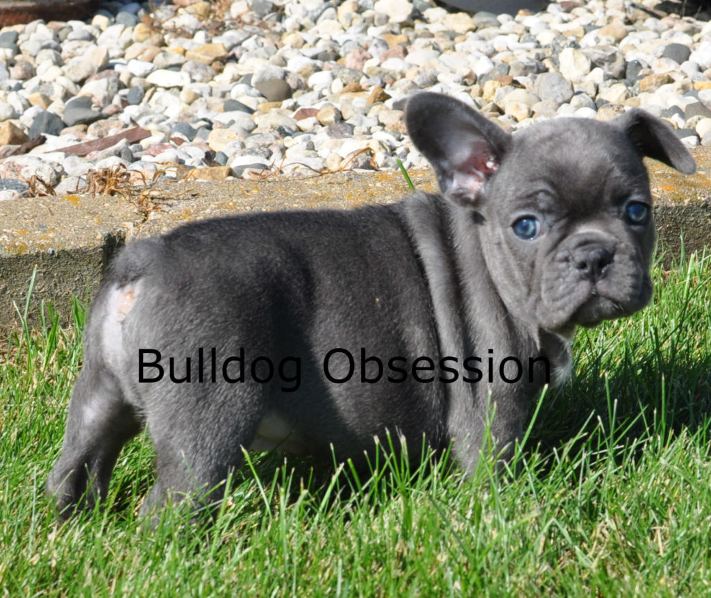 Alex came from Admiral and Marshall's litter of  French Bulldogs