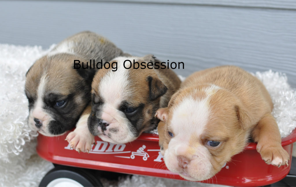 A picture of a group of  English Bulldogs bred in Iowa